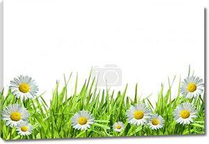 Трава с ромашками против белого