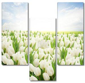 зеленый газон с белыми тюльпанами