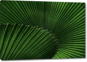 Веерные листья пальмы