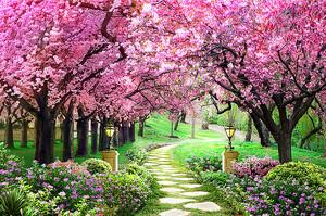 Вишневая аллея в парке