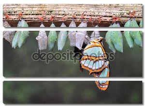 Строк коконов бабочка