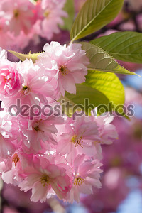 Красивые розовые цветы на фоне голубого неба