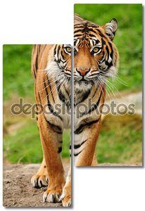 Шикарный Бенгальский тигр