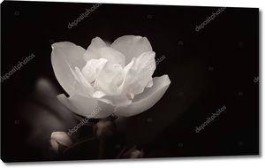 Свежий белый цветок жасмина Терри крупным планом на темном фоне с копией пространства. Монохромные тонированные изображение в черно-белые, поздравительных открыток, выборочный фокус.