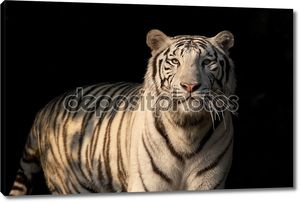 Белый бенгальский тигр на темном фоне