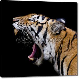суматранский рев тигра