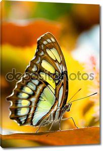 бабочка малахита