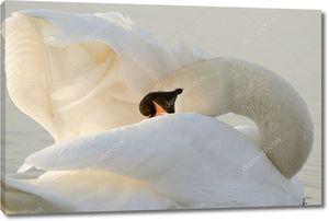 Лебедь чистит крылья