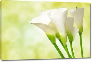 Калла цветок крупным планом