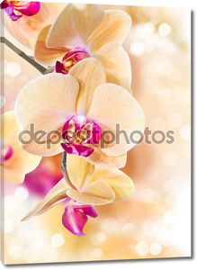 Орхидея фаленопсис желтый