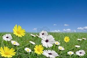 Уайт Дейзи цветы фон