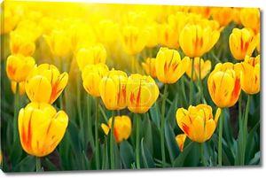 весной Желтые тюльпаны