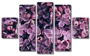 Бутончики цветущей сирени