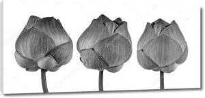 Цветок лотоса в черно-белом на белом фоне