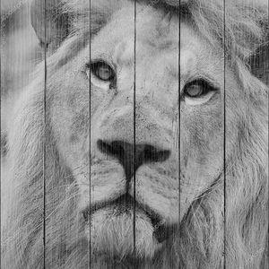 Потрясающие интимный портрет белого Барбари Атлас Лев Panthera Leo в черно-белом