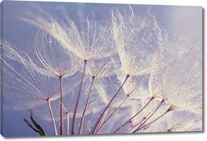 Красивые Одуванчик с семенами, вид макрос