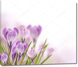 Цветы крокуса внизу в углу
