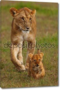 Львы в дикой природе, Саванна