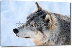 Серый волк в зимний период