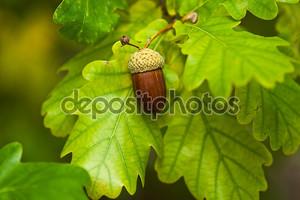 Плод дуба спелых осенью