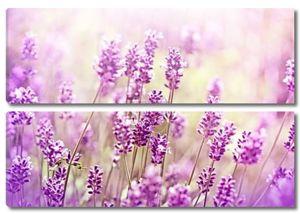 Лаванда цветы освещенные с солнечными лучами