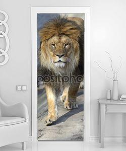 Лев идет к львице