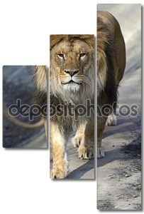 Лев в саван