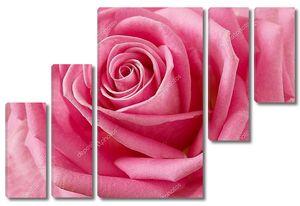 Красивая роза крупным планом