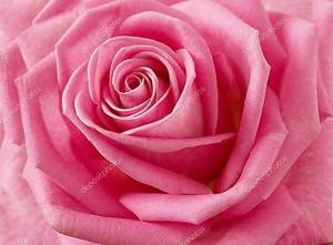 Красивые розы крупным планом
