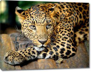 Портрет лежащего леопарда