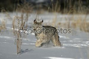 Сибирская рысь, lynx lynx