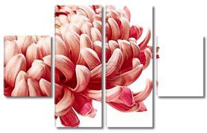цветок хризантемы