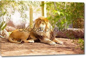 Красивые Африканский лев, прокладки в джунглях