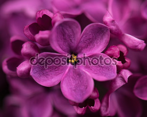 Сиреневый цветок макро