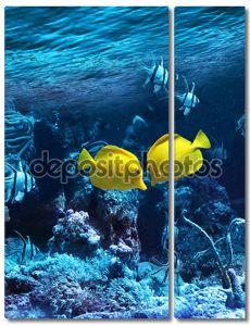 Две желтых тропических рыбы