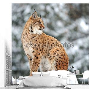 Рысь зима