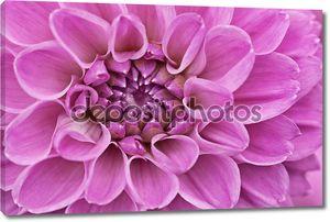 Фиолетовый цветок хризантемы крупным планом