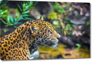 Красивые молодой ягуар
