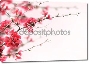 Красивая розовая вишня на белом фоне