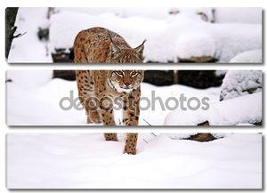 Рысь идет по снегу