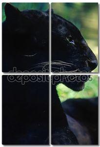 Красавица черная пантера