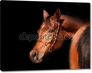 Крупный залив аравийской лошади