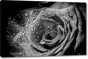 Роза в каплях воды