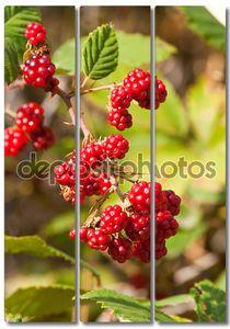 Спелые ягоды ежевики на ветке