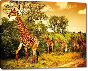 Жирафы ЮАР