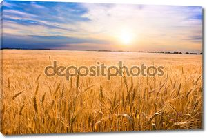 Пшеница золотая готов к жатве, растущих в ферме поле под blu