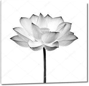 Цветок лотоса черный и белый изолированы на белом фоне