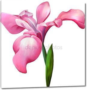 Розовый ирис цветок