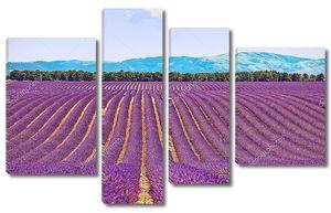Цветущие поля лаванды в Провансе
