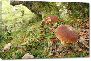 булочка (boletus edulis) Пенни в дубовом лесу, Астурия.